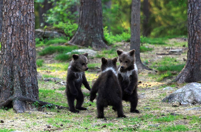 116 Adorable Moment Baby Bear Cubs Grasp Paws and Dance Joyfully in a Circle