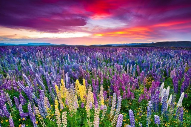 1366879781 10 640x425 Colorful Lupines by the Lake Tekapo