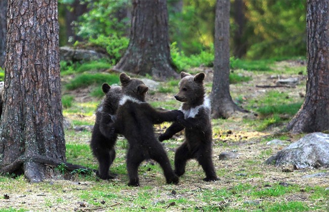 213 Adorable Moment Baby Bear Cubs Grasp Paws and Dance Joyfully in a Circle