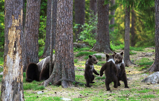 38 Adorable Moment Baby Bear Cubs Grasp Paws and Dance Joyfully in a Circle