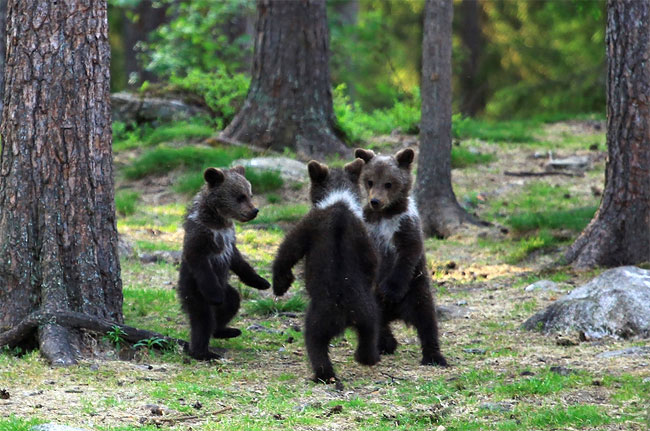 46 Adorable Moment Baby Bear Cubs Grasp Paws and Dance Joyfully in a Circle