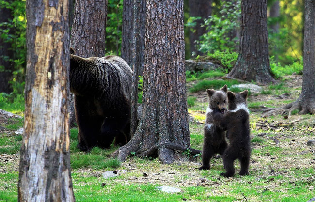 56 Adorable Moment Baby Bear Cubs Grasp Paws and Dance Joyfully in a Circle