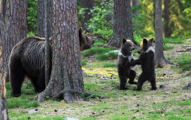 65 Adorable Moment Baby Bear Cubs Grasp Paws and Dance Joyfully in a Circle