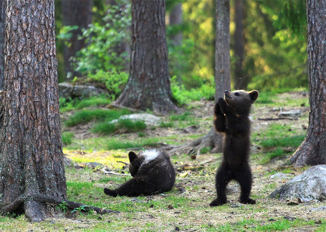 75 Adorable Moment Baby Bear Cubs Grasp Paws and Dance Joyfully in a Circle