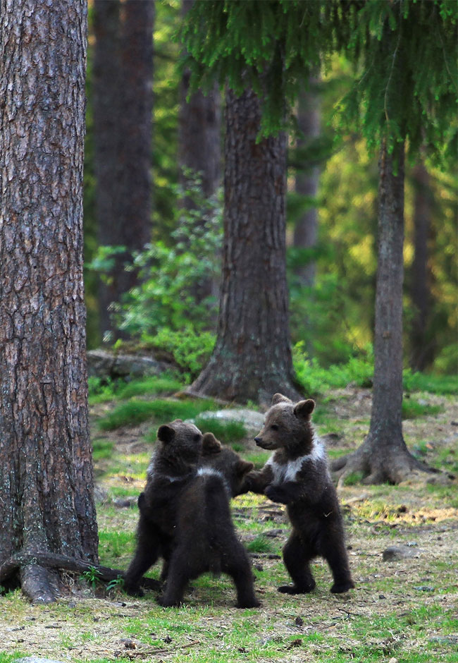 94 Adorable Moment Baby Bear Cubs Grasp Paws and Dance Joyfully in a Circle