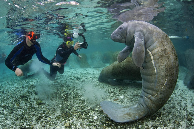 126 Floridas Friendly Manatees Photographed By Alexander Mustard