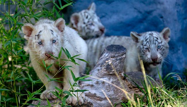 1139 Argentina Tiger Triplets