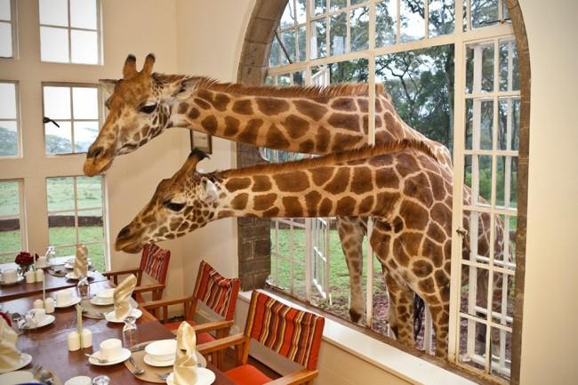 Manor 1 650x433 The Whimsical Giraffe Manor in Kenya