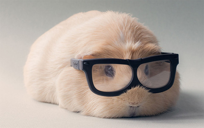 1186 BooBoo the Guinea Pig