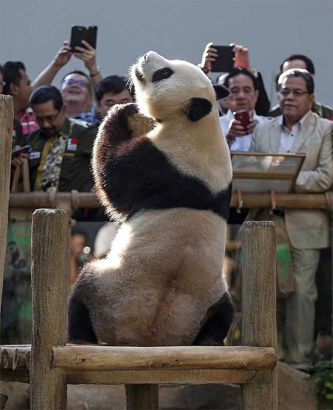 1288 Preening Panda, in Kuala Lumpur, Malaysia