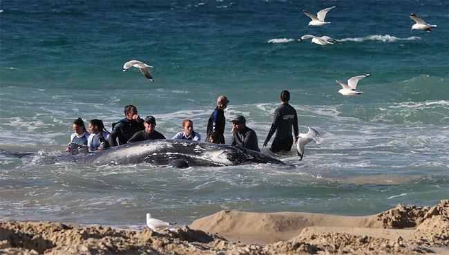 1139 Stranded Whale Still Stuck on Gold Coast Beach