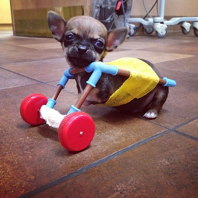 1276 This Dog Has A Wheelchair Made Out Of Children's Toys
