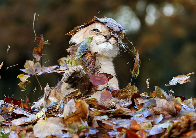 1280 Baby Lion Playing With Autumn Leaves