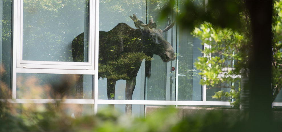 1206 Moose Comes to Work