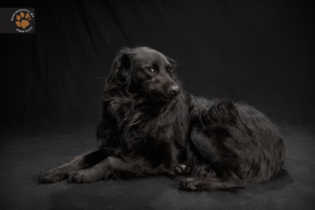 1399463105 1 640x427 Black Dog Portraits in Fred Levys Photography