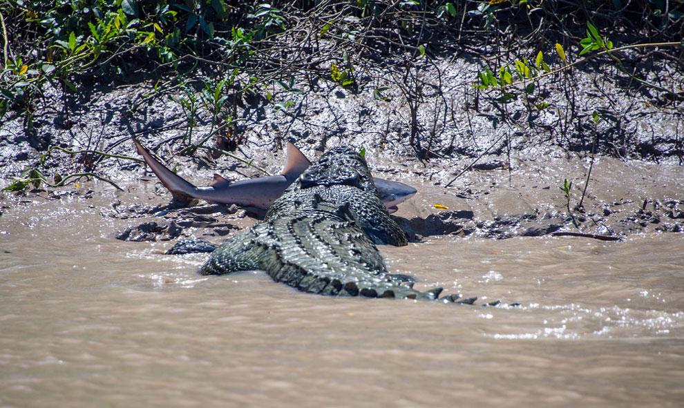 197 Brutus the Giant Crocodile Attacks Shark in Australia