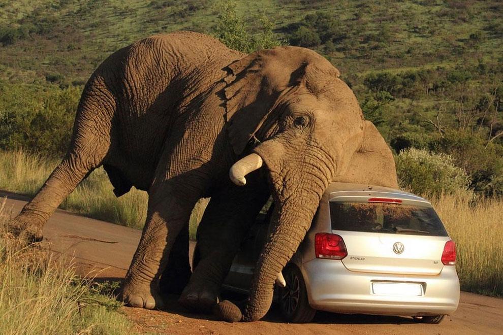 198 Elephant vs Car