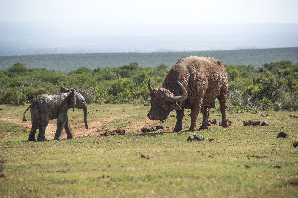 118 A Young Elephant Calf vs Buffalo Bull in South Africa