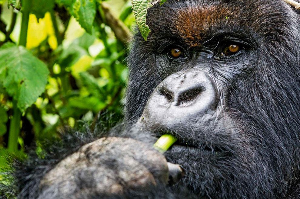 1191 A Drunk Mountain Gorilla