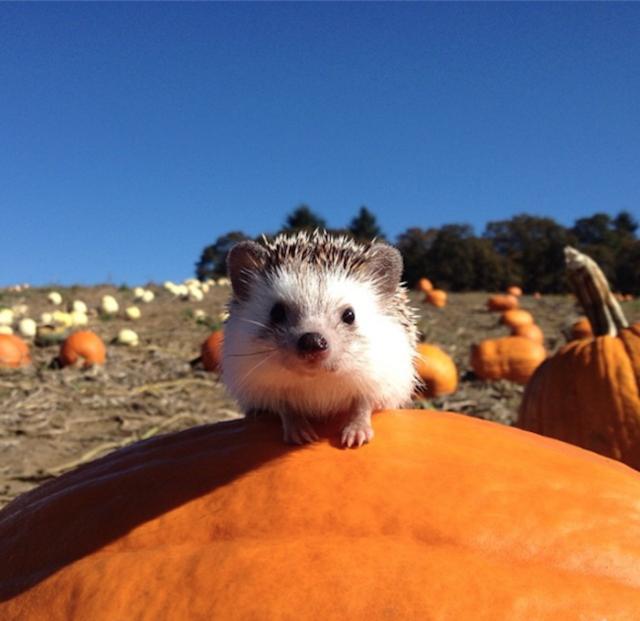 1402503216 12 640x621 Meet Biddy, The Travelling Hedgehog