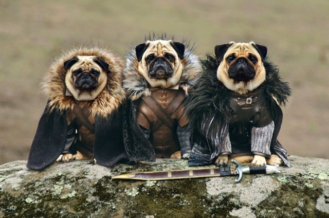 1404243588 1 640x424 Three Pugs Dressed as Game of Thrones Characters