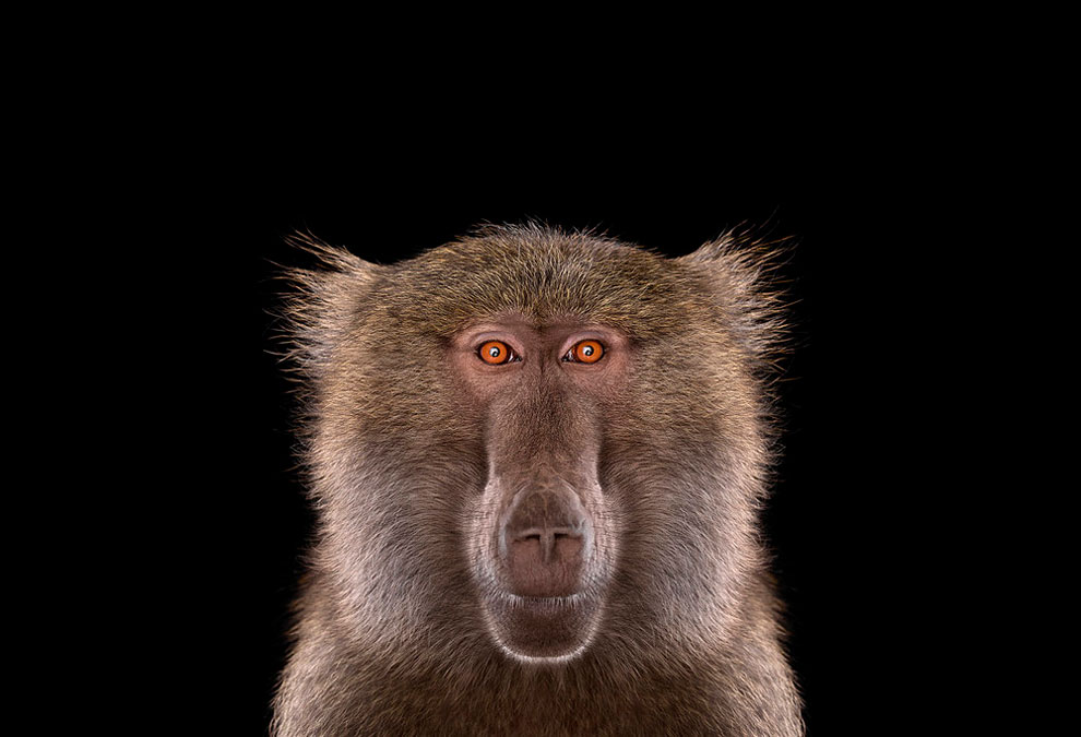 156 Stunning Portraits of Wild Animals by Brad Wilson