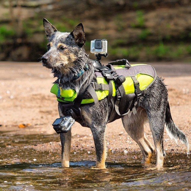 GoPro Fetch Dog Harness 001 Daily Gadget Inspiration #193