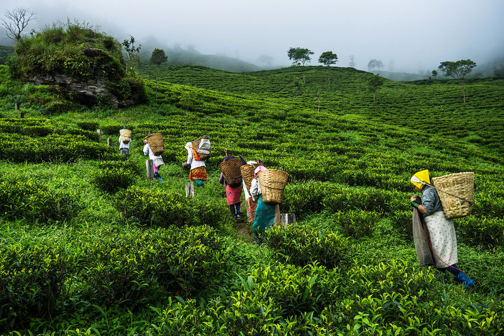 1262 The Making of India's Most Expensive Tea