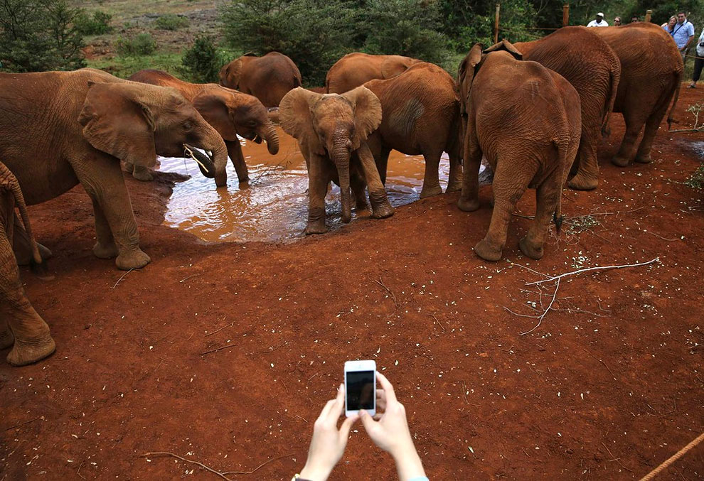 1264 Orphaned Baby Elephants in Nairobi