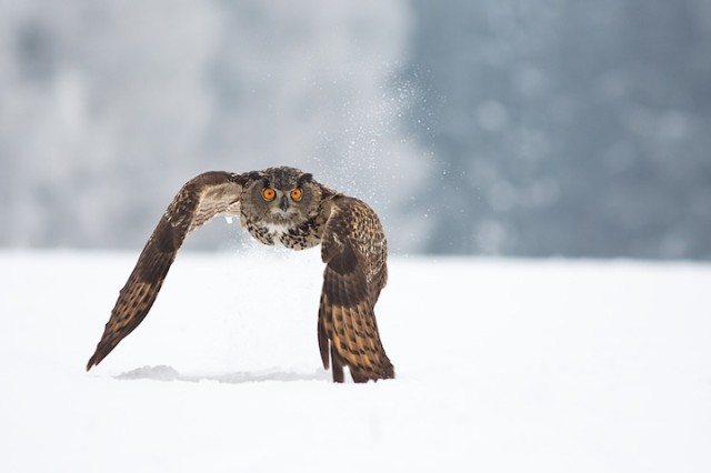 1362815874 1 640x426 Owl Photography by Milan Zygmunt