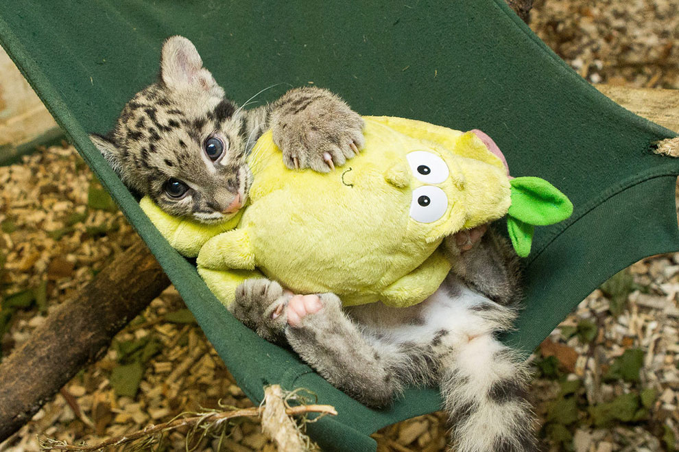 139 Nimbus, a 2 Month Old Clouded Leopard Cub
