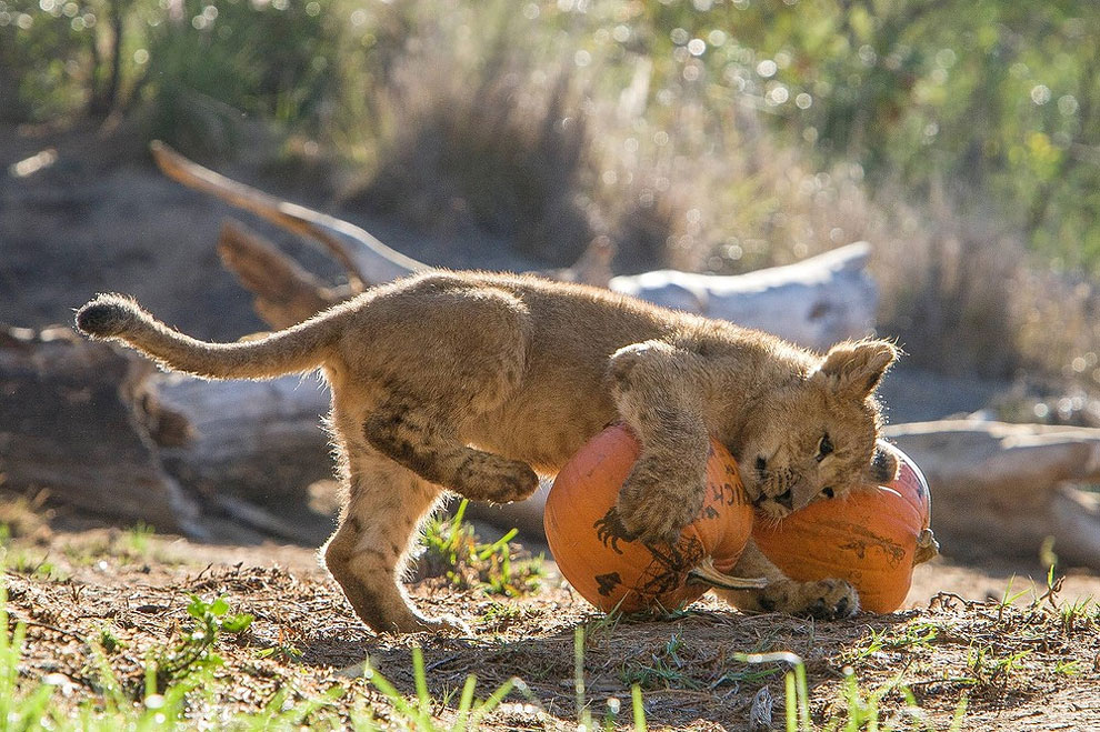 "1477 Animals ""Celebrate"" Halloween with Pumpkins"