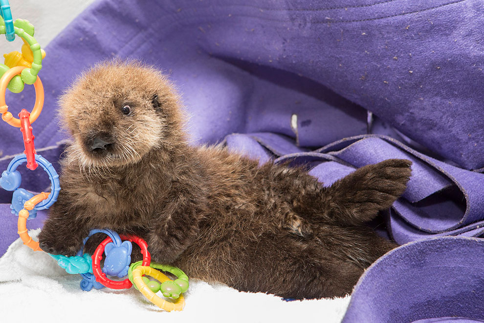 1136 Orphaned Sea Otter Pup Finds Home in Chicago