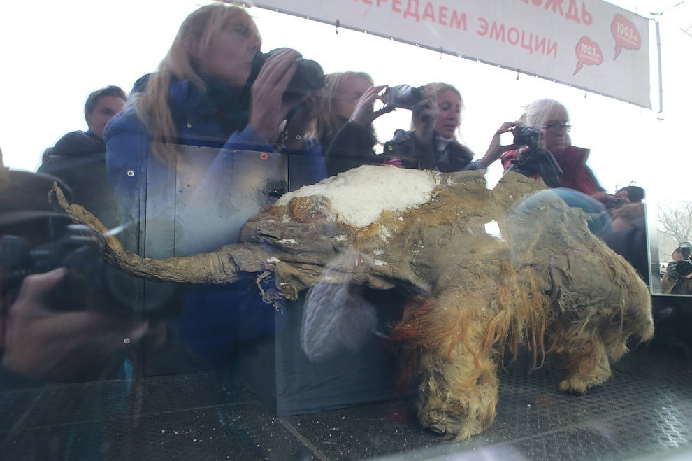 1159 Baby Mammoth Yuka on Display in Moscow