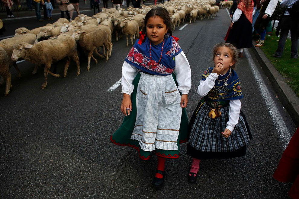 124 Annual Sheep Parade in Madrid
