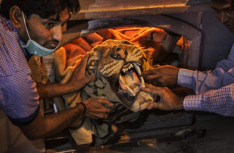 129 India Destroys Stockpile of Illegal Wildlife Parts