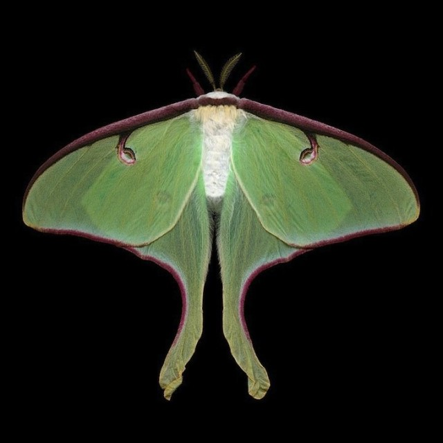 1371301154 1 640x640 Beautiful Exotic Moths in Jim des Rivieres Photography