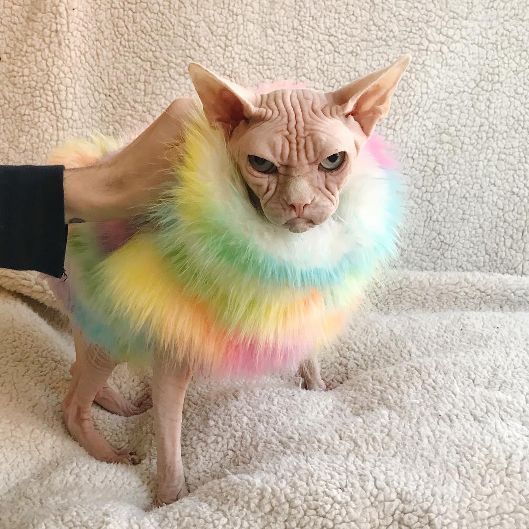 Meet Loki The World S Grumpiest Sphynx Cat