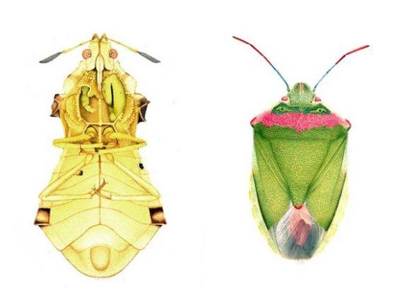 CorneliaHesseHoneggerMorphologicallyDisturbed2 Cornelia Hesse Honegger Disturbed Insects