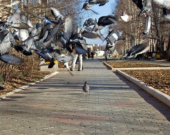 pigeon Pigeon of Terror